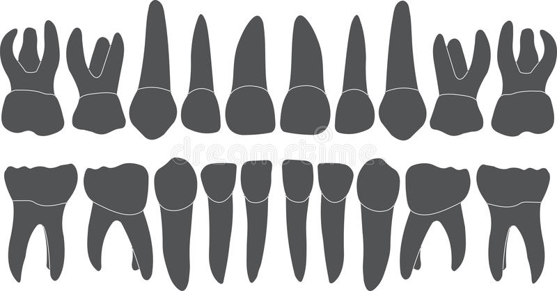 Baby teeth - crown and root. The number of teeth upper and lower jaw done in vector are easy to edit stock illustration