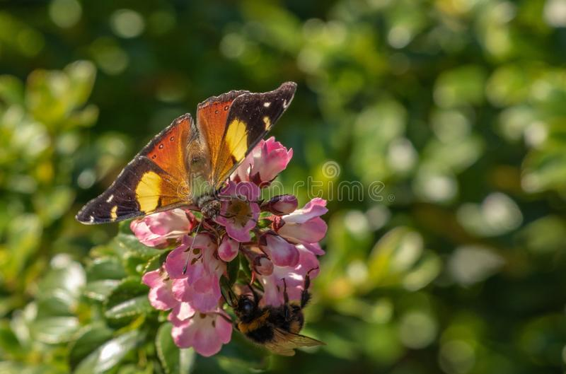Butterfly and bumblebee taking nectar from pink flowers stock photography