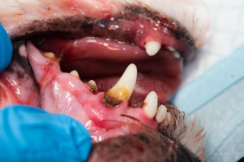 Close-up photo of a dog mouth with periodontitis. C royalty free stock photo