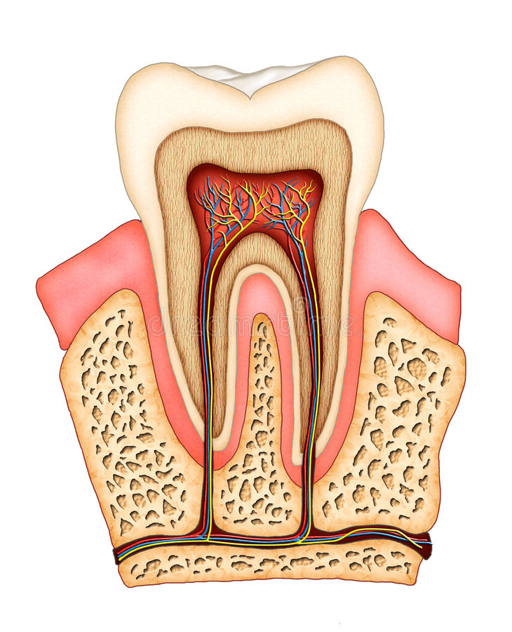 Dental anatomy stock illustration