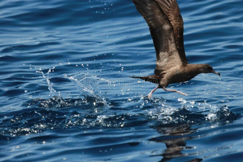 Wedge Tailed Shearwater in Australasia stock photo