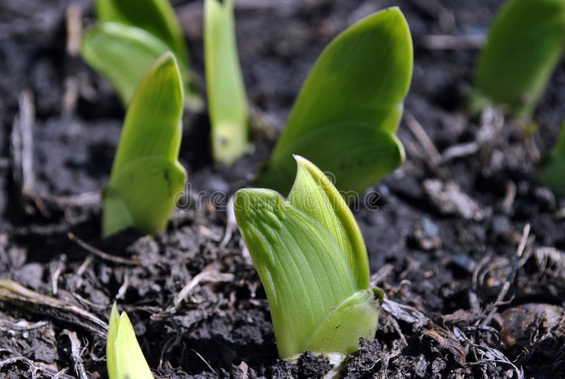 Green iris pointed flat wedge shaped leaves close up, ground background stock photo