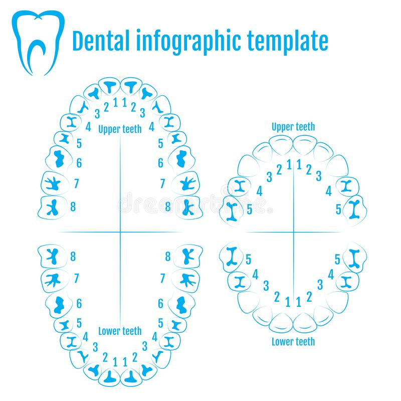 Orthodontist human tooth anatomy vector with numbering of teeth. Of an adult and a child. Medical dental infographic template vector illustration