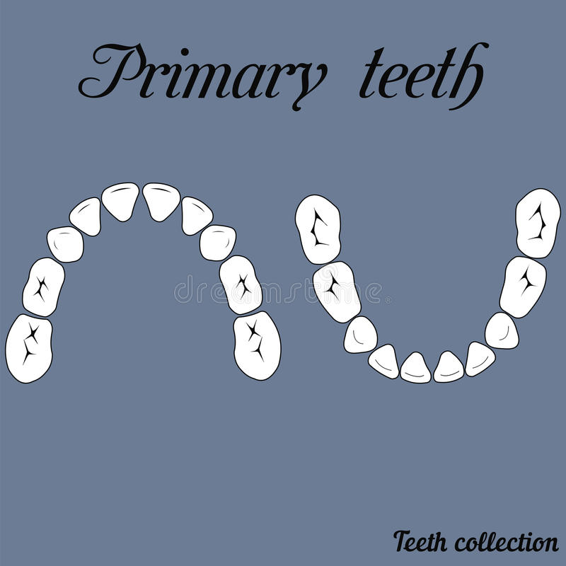 Primary teeth Chewing surface. Crown and root , the number of teeth upper and lower jaw done in vector are easy to edit for print or design stock illustration