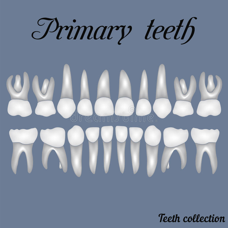 Primary teeth. Crown and root , the number of teeth upper and lower jaw done in vector are easy to edit for print or design vector illustration