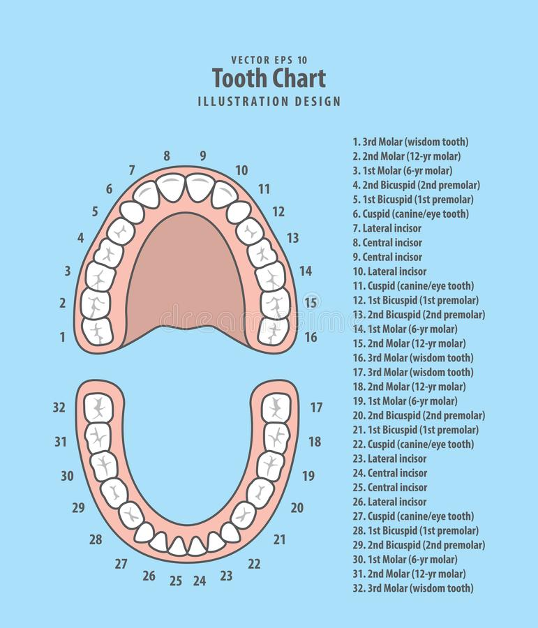 Tooth chart with number infographic illustration vector on blue. Background. Dental concept royalty free illustration