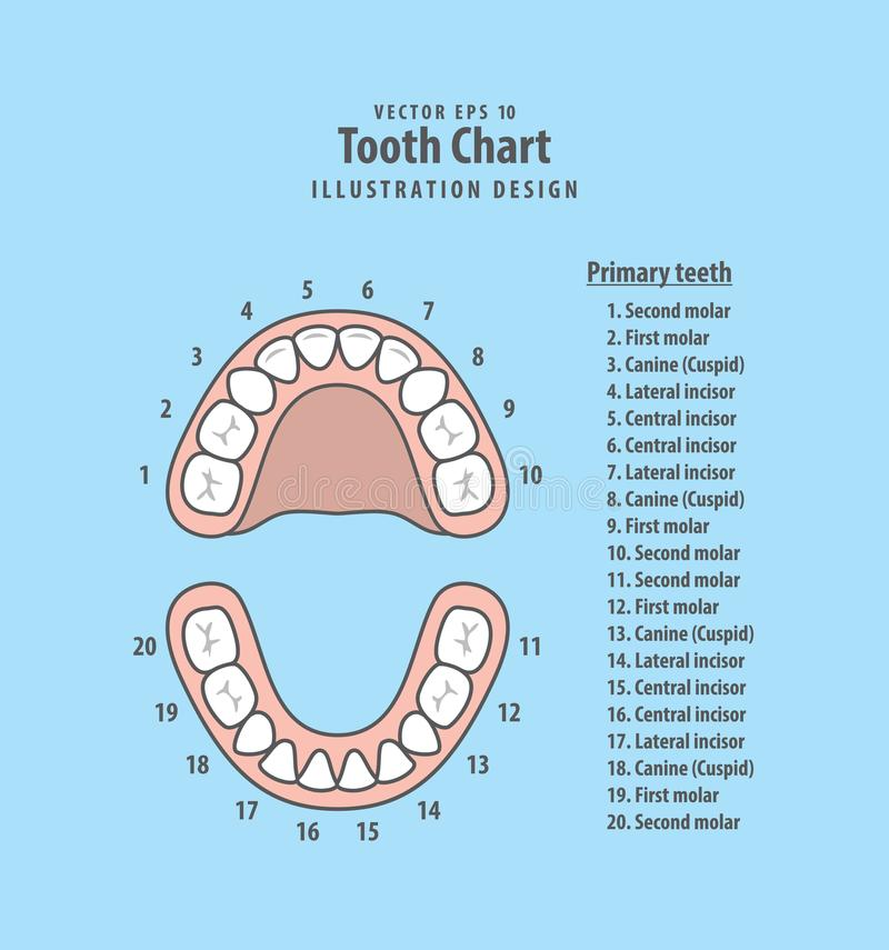 Tooth Chart Primary teeth with number illustration vector on blu. E background. Dental concept stock illustration