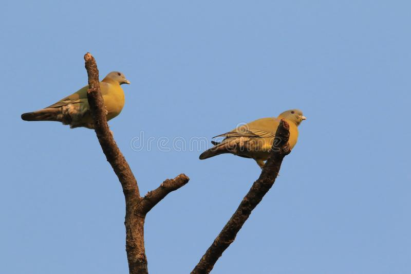 Wedge tailed green pigeon royalty free stock photos
